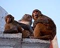 Monkeys in Swayambhunath temple - Kathmandu, Nepal - panoramio.jpg