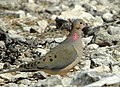 Morning Dove (Zenaida macroura) (126214789).jpg