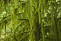 Moss Covered Tree, Willamette National Forest (23906021506).jpg