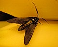 Moth (Lepidoptera) - Simcoe, Ontario 03.jpg