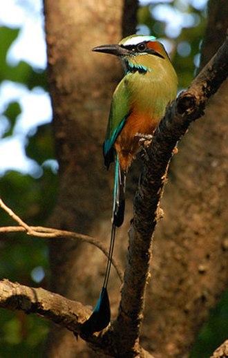 Turquoise-browed motmot - Image: Motmot 1
