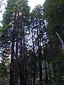 Muir Woods National Monument 06 Coast Redwood (Sequoia sempervirens).jpg