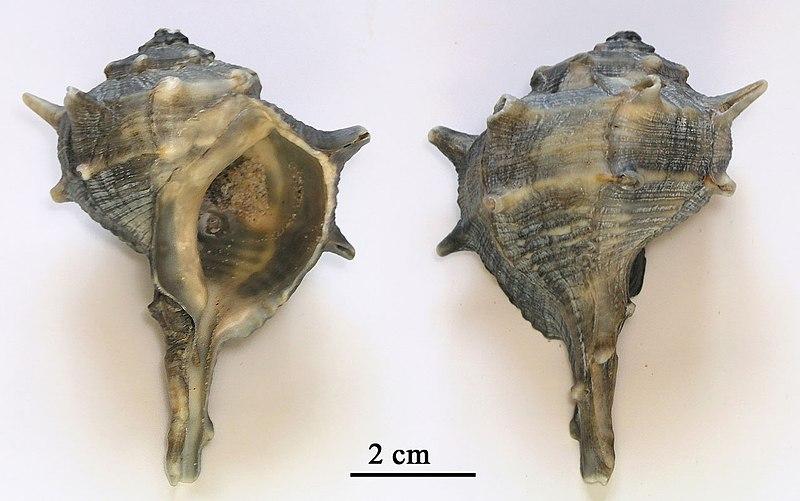 La púrpura era un tinte descubierto por los fenicios que se extraía de un molusco marino, el Murex brandaris
