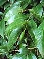 Murraya paniculata 16.JPG