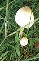 Mushroom and its bud.jpg