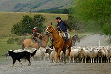Mustering sheep in Patagonia.jpg