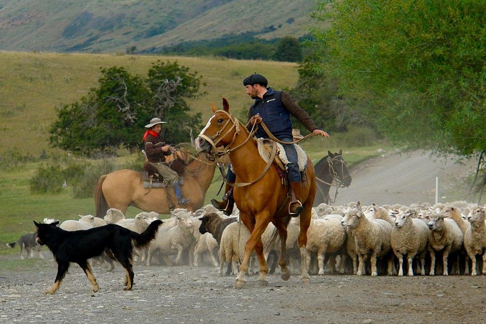 Mustering sheep in Patagonia