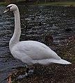 Mute swan etang Tenreuken.jpg