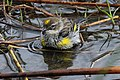 Myrtle Warbler - Dendroica coronata, Babcock-Webb Wildlife Management Area, Punta Gorda, Florida - 8265216687.jpg