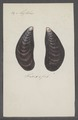 Mytilus edulis - - Print - Iconographia Zoologica - Special Collections University of Amsterdam - UBAINV0274 076 01 0027.tif