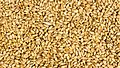 Naked wheat(Triticum aestivum) in Nepal-September 27, 2016-IMG 8014.jpg