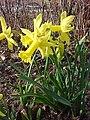 Narcissus Peeping Tom.jpg