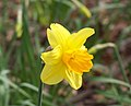Narcissus pseudonarcissus flower – front.jpg