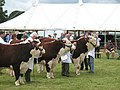 National Hereford Show 2008, Bulls under 2 years - geograph.org.uk - 909812.jpg