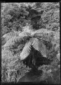 Native bush with tree fern in centre, at Korokoro. ATLIB 273163.png