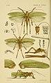 Natural history of Victoria (Pl. 109) (6008514100).jpg