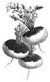 Navet jaune de Montmagny Vilmorin-Andrieux 1883.png