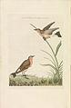 Nederlandsche vogelen (KB) - Oenanthe oenanthe (273pl).jpg