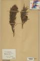 Neuchâtel Herbarium - Pinus sylvestris - NEU000003777.tif