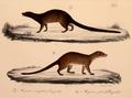 Neue Wirbelthiere zu der Fauna von Abyssinien gehörig (1835) Herpestes sanguineus & Mungos mungo zebra.png
