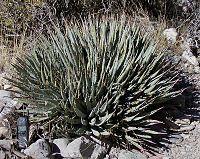 Nevada agave whole