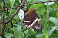 Newly hatched Siproeta epaphus (Nymphalidae- Nymphalinae- Victoriniini) (29737384776).jpg