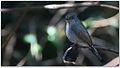 Nilgiri Flycatcher (Eumyias albicaudatus) – Female by Dharani Prakash.jpg