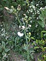 Noordwijk - Gekroesde melkdistel (Sonchus asper).jpg