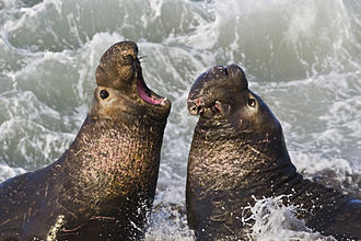 Population bottleneck -  Overhunting pushed the northern elephant seal to the brink of extinction by the late 19th century. Though they have made a comeback, the genetic variation within the population remains very low.