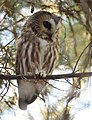 Northern Saw-whet Owl (31782230482).jpg