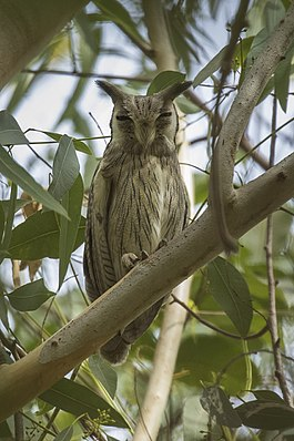 Northern White-faced Owl, Gambia (31807717104).jpg