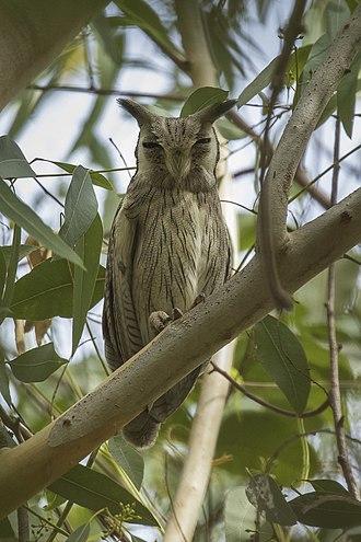 Ptilopsis - Image: Northern White faced Owl, Gambia (31807717104)