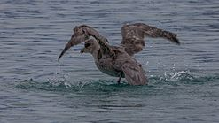 Northern fulmar (Fulmarus glacialis) taking a bath.jpg