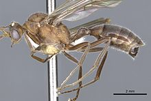 Male dinosaur ant with long, functional wings