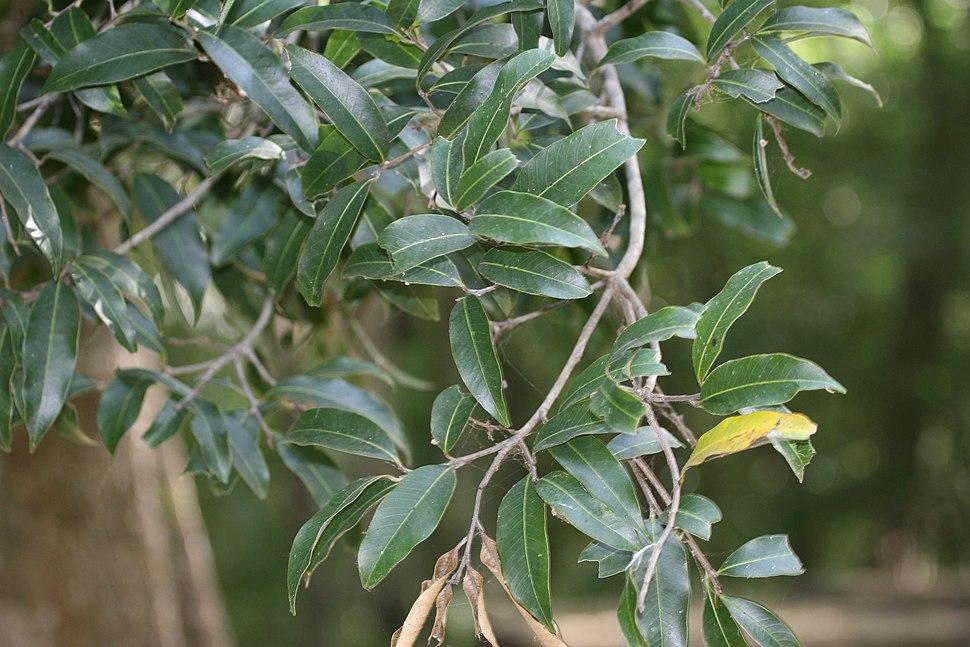 Nothopegia beddomei leaves