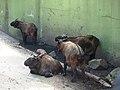 Nyíregyháza Zoo, Budorcas taxicolor taxicolor.jpg