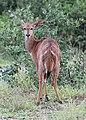 Nyala in Hluhluwe–Imfolozi Park 01.jpg