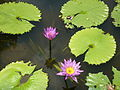 Nymphaea capensis (3).jpg