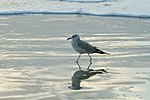 OLERON ISLAND SEAGULL (15555148959).jpg