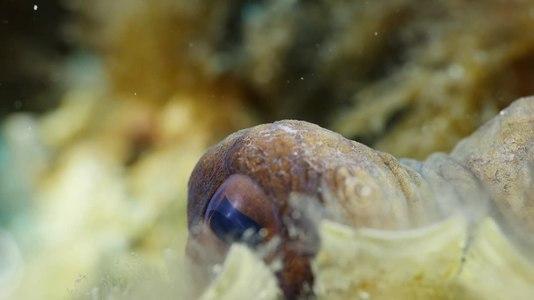 File:Octopus Vulgaris - Poulpe commun.webm