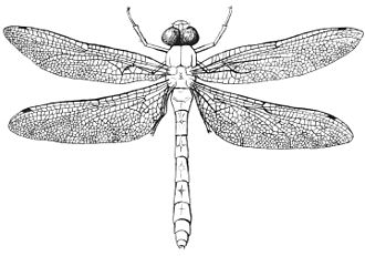 Conservation and restoration of insect specimens - Pen and ink scientific illustration of a dragonfly.