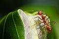 Oecophylla smaragdina - Weaver ant (8487845936).jpg