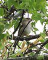 Olive Sparrow (14101336082).jpg