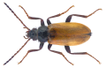 Omophlus pubescens (Linnaeus, 1758).png