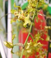 Oncidium baueri - flower