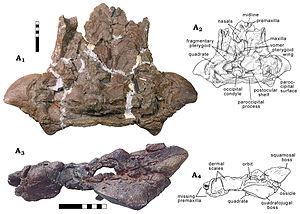 Scolosaurus - MOR 433, holotype skull of Oohkotokia horneri
