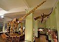 Opisthocoelicaudia Museum of Evolution in Warsaw 31.JPG