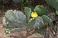 Opuntia ficus-indica - Tajpur - East Midnapore 2015-05-02 9150.JPG