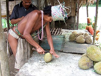 Semai people - A Semai man in traditional attire opening a durian fruit in Cameron Highlands District, Pahang, Malaysia.