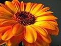 Orange Gerbera Daisy.jpg